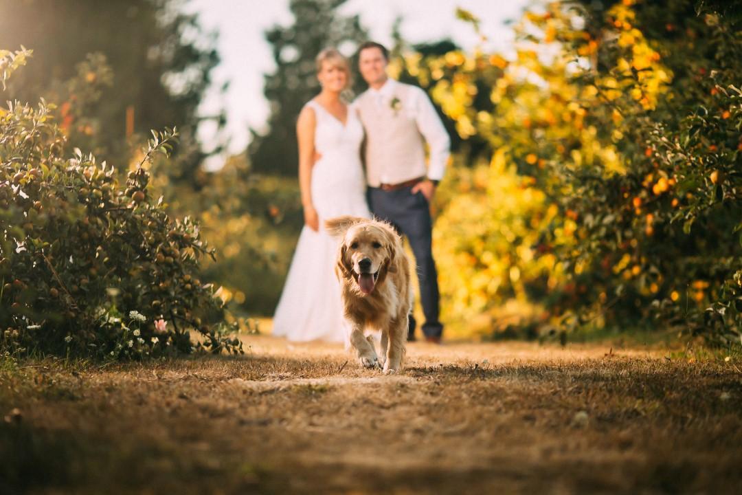 Newlyweds and DogSuns Golden Kiss West Coast Weddings Magazine