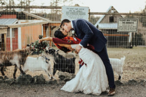 Steal of a Wedding bride and groom kissing in front of fence with goats trying to eat her bouquet