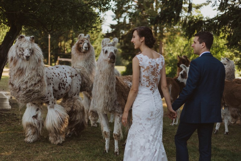 Wedding Couple Photo with Llamas on Vancouver Island