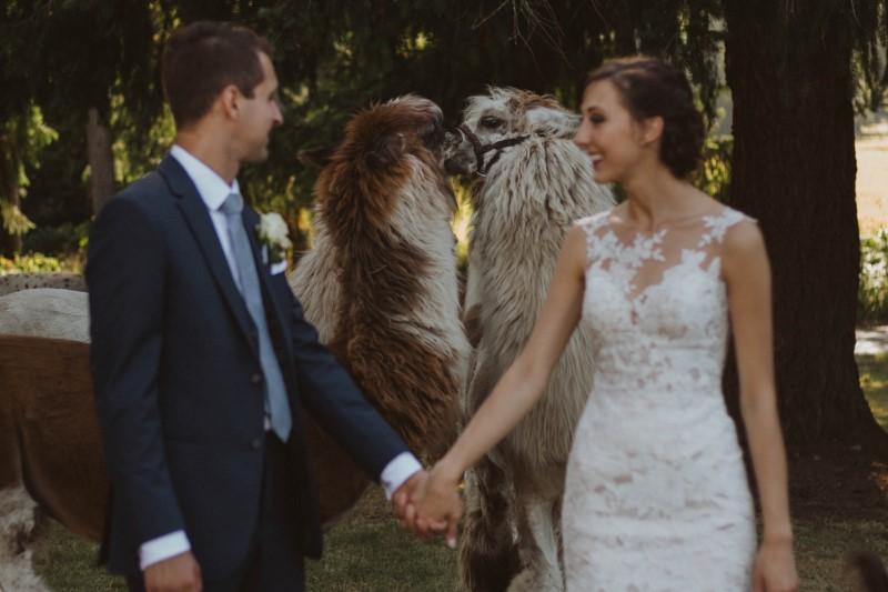 Kissing Llamas with Bride and Groom at Woosterville Mini-Llama Farm