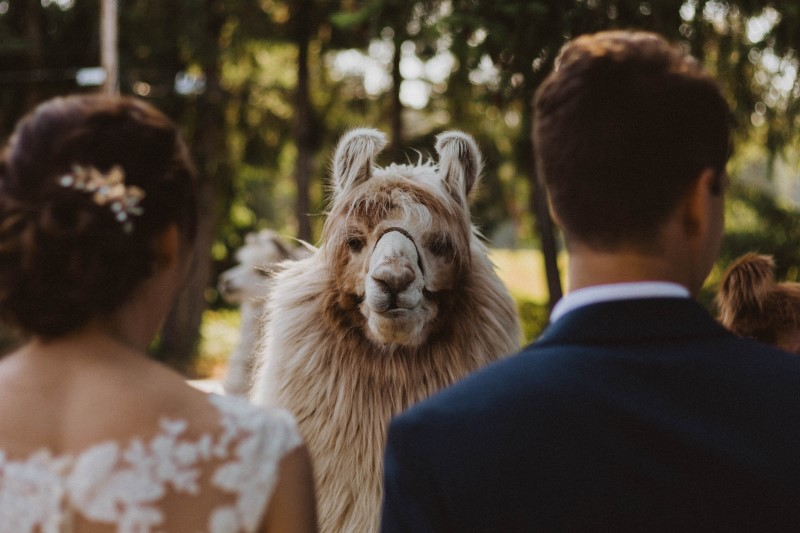 Newlyweds framed by face of llama on Vancouver Island