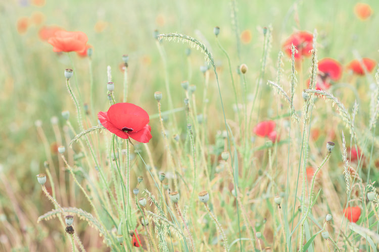 Bridal Butterflies and Poppies field