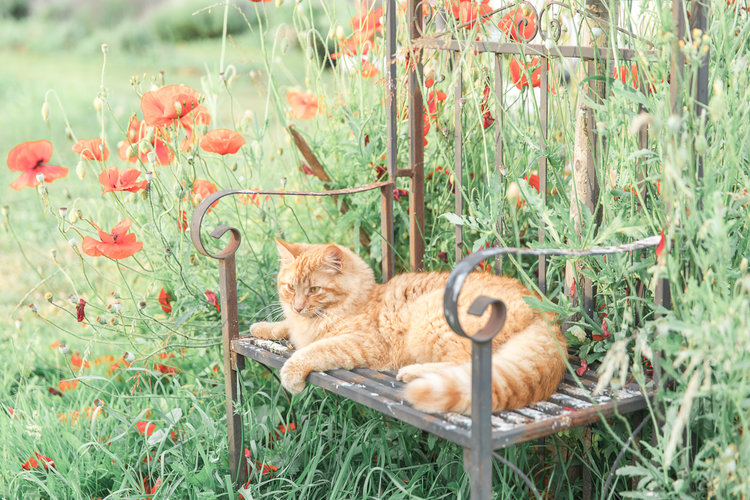 Orange cat sits on garden bench surrounded by orange poppies
