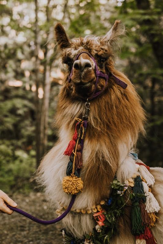 West Coast Wedding Llama by Millstream Llama Farm