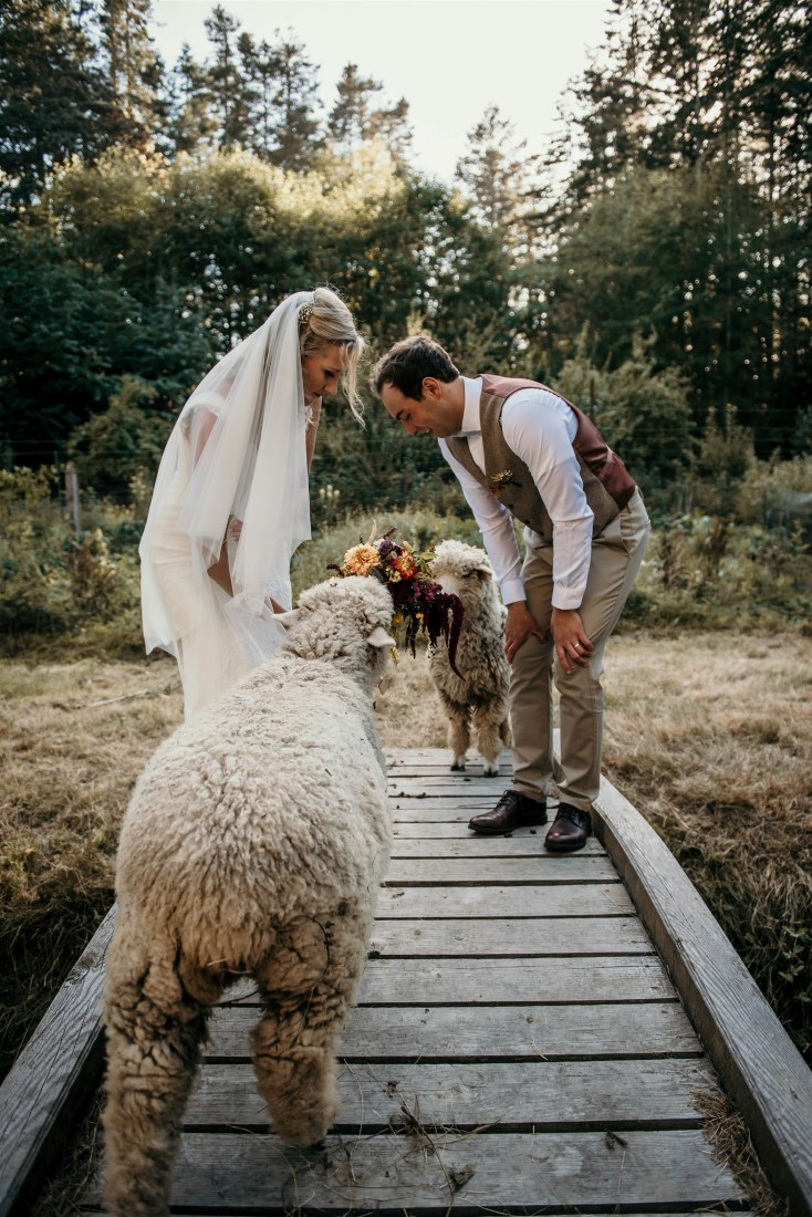 Bride and Groom look at sheep along boardwalk on Vancouver Island