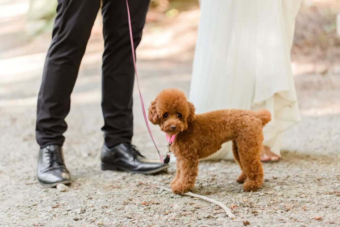 Pawsome brown curly haired puppy on lease with engaged couple in Vancouver park